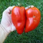C'est la variété ancienne qui a donné les plus gros fruits (et aussi les plus petits car les tailles étaient très disparates)