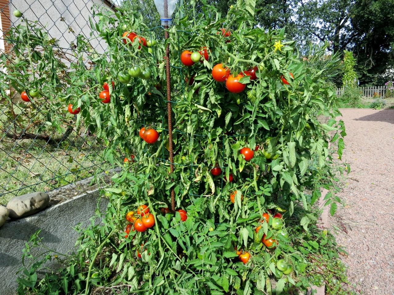Mon palmar s des tomates 2015 - Hauteur plant de tomate ...