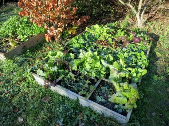 Des récoltes de salades tout l'hiver au potager en carrés