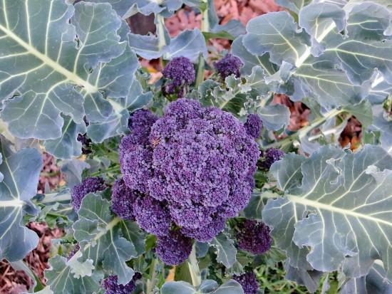 Le brocoli à jets donnera bientôt des récoltes étalées
