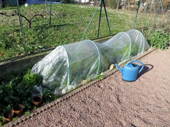 Laitues d'hiver et épinards sous voile plastique perforé