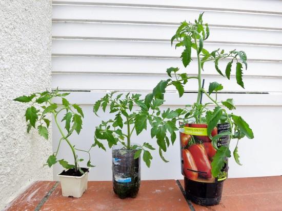 De gauche à droite : un plant normal du commerce, un de mes plants dans la bouteille, un plant greffé du commerce