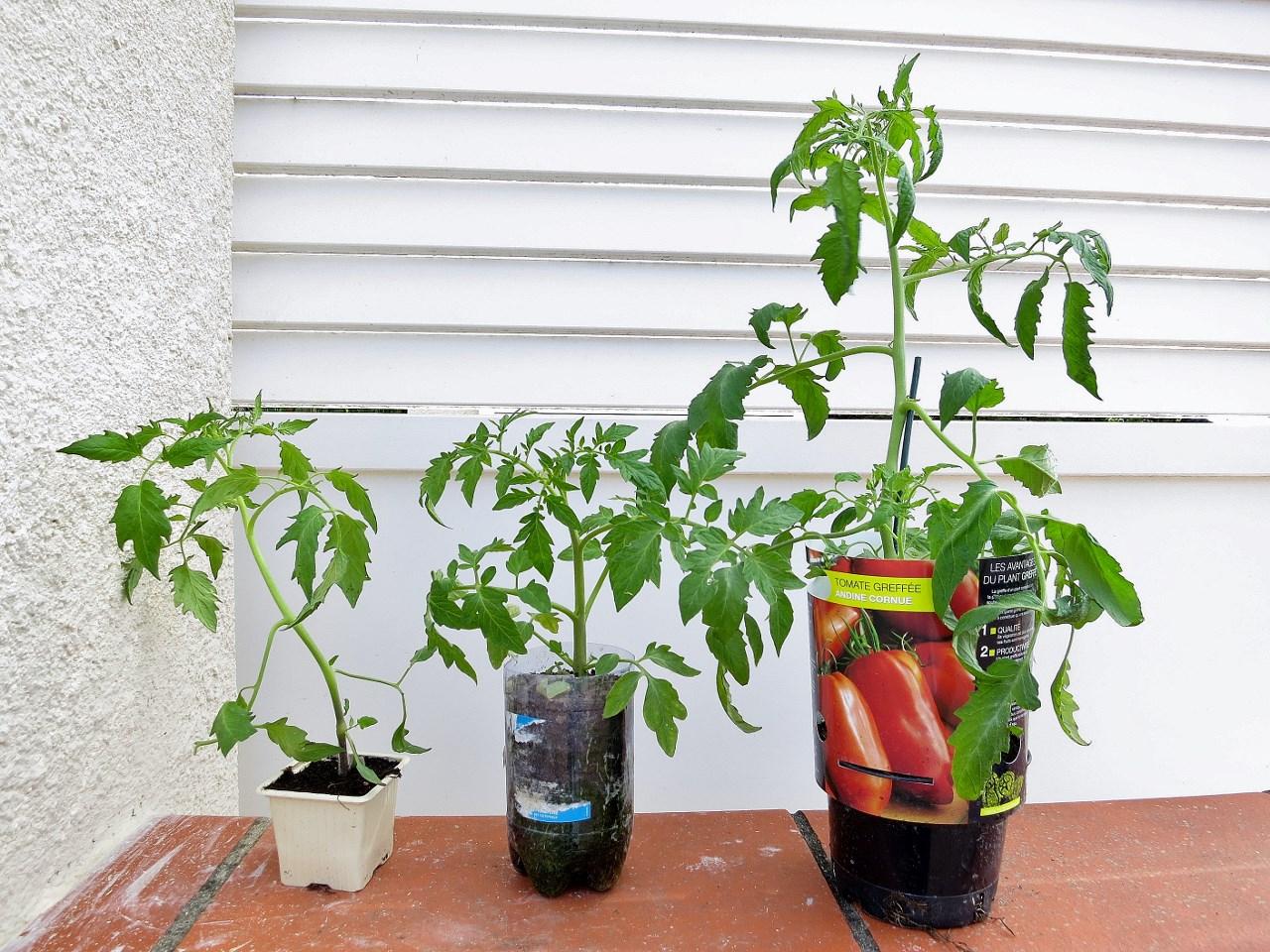 mon premier essai de greffage des tomates. Black Bedroom Furniture Sets. Home Design Ideas