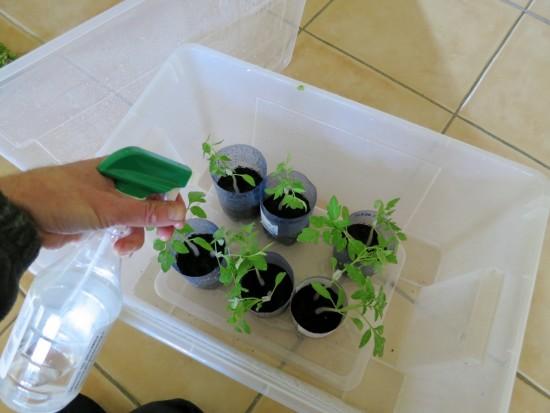 Brumisation des plants dans leur enceinte