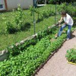 Plantation de tomates dans une plate-bande de moutarde (engrais vert semé début avril). Le long de la clôture, des petits pois commencent à grimper. Quand on n'a pas beaucoup de place, il faut optimiser.