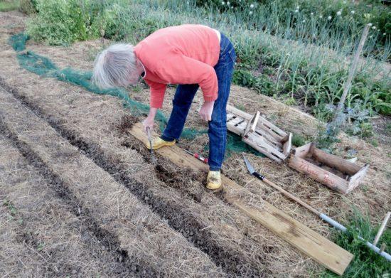 Avant de faire les semis, des sillons sont découpés au couteau