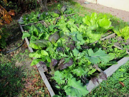 Des choux (chinois) au milieu des salades