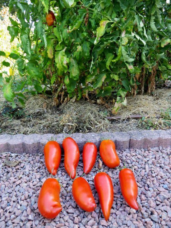 En haut : 4 tomates du plant greffé, en bas: 4 tomates du plant normal
