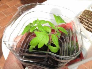 Un jeune plant de tomate en pleine forme dans sa bouteille qui fait office de mini-serre