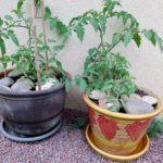 Ma culture de tomates en pots