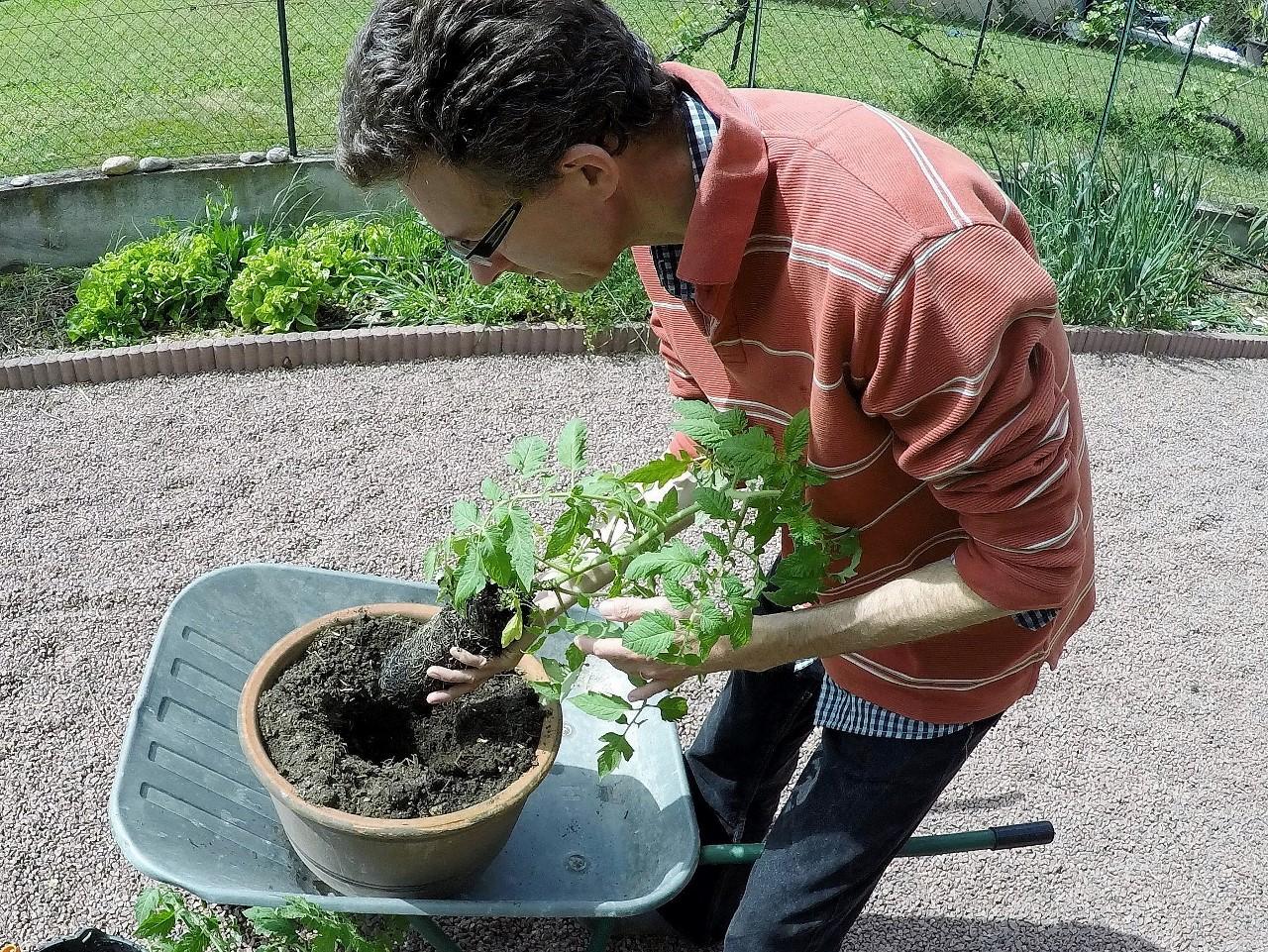 ma culture de tomates en pots • potagerdurable