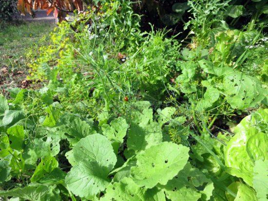 Un mélange de salades, radis et aneth