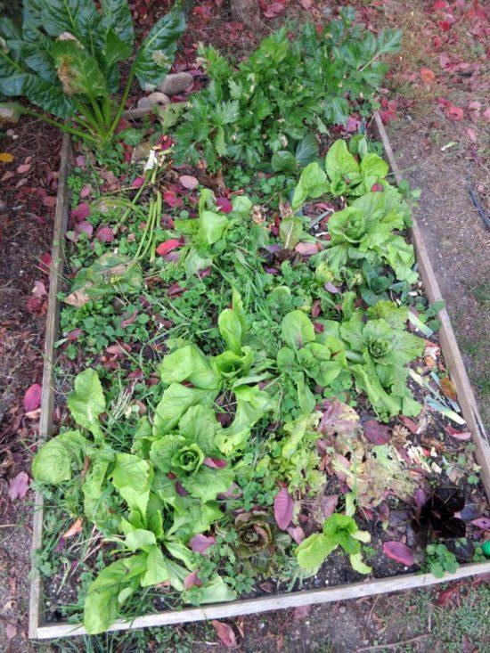 Je laisse quelques herbes pousser au milieu des salades chicorées d'hiver