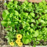 Spécial débutant: plantation d'une microparcelle laitue-radis-souci