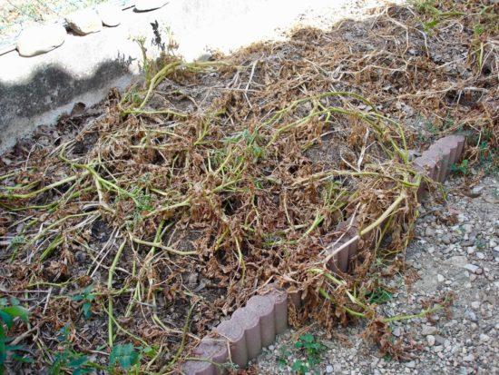 Je laisse sur place les fanes de pommes de terre après la récolte