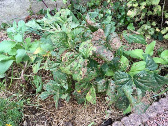 Ces feuilles de haricots sont complètement minées par un insecte. Ce n'est pas grave car la récolte est finie. Je vais les couper et les laisser sur place.