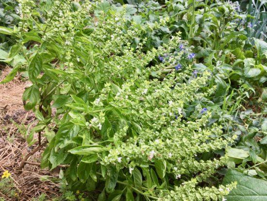 Ce plant de basilic fait ses fleurs en fin de saison