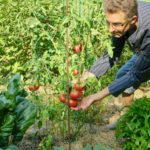 Tomate Rose de Berne qui pousse sans que je la taille et dans un support en forme de cage grillagée