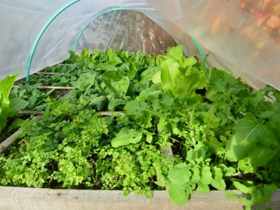 Grâce à la bâche, l'air se réchauffe autour de ces cultures de légumes d'automne : mâche, épinards, roquette, laitue romaine et cerfeuil