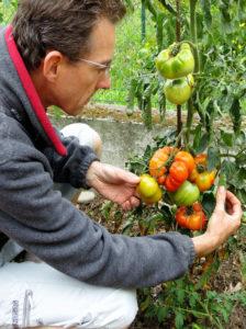 Je compare des plants de tomates poussés sur plusieurs tiges par rapport à une seule tige